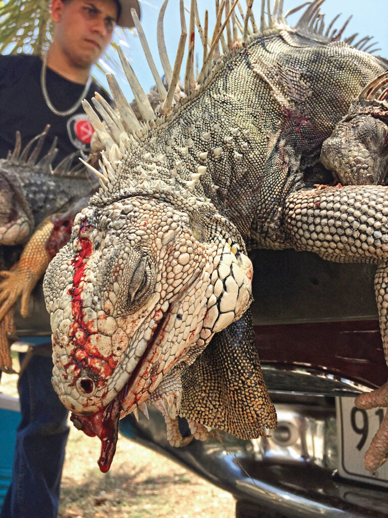 iguanas, invasive iguanas, iguana hunting, air rifle hunting, air rifle hunting iguanas, invasive iguanas, invasive iguanas puerto rico, hunting invasive iguanas