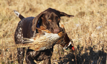 Top Dogs: Scratch, the German Shorthaired Pointer