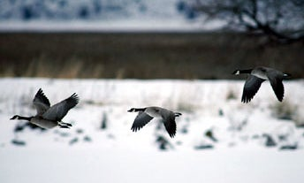 Aleutian Cackling Goose Population on the Rise
