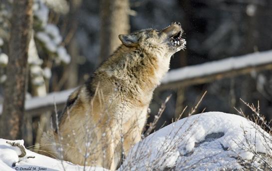 httpswww.outdoorlife.comsitesoutdoorlife.comfilesimport2014importArticleembedwolfhowling.jpg