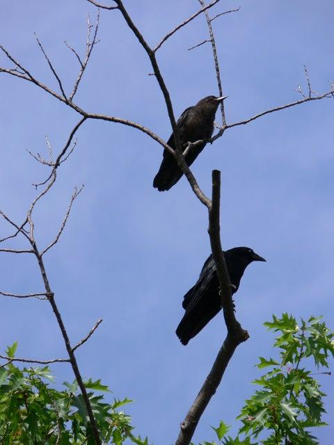 Crow Hunting 101