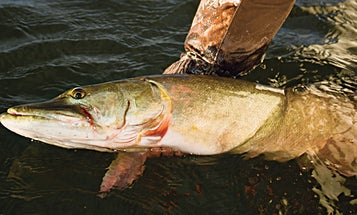 How to Catch Giant Spring Muskies on Green Bay