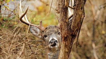 deer sanctuary, old buck, mature buck, deer hunting, deer habitat, pressured deer