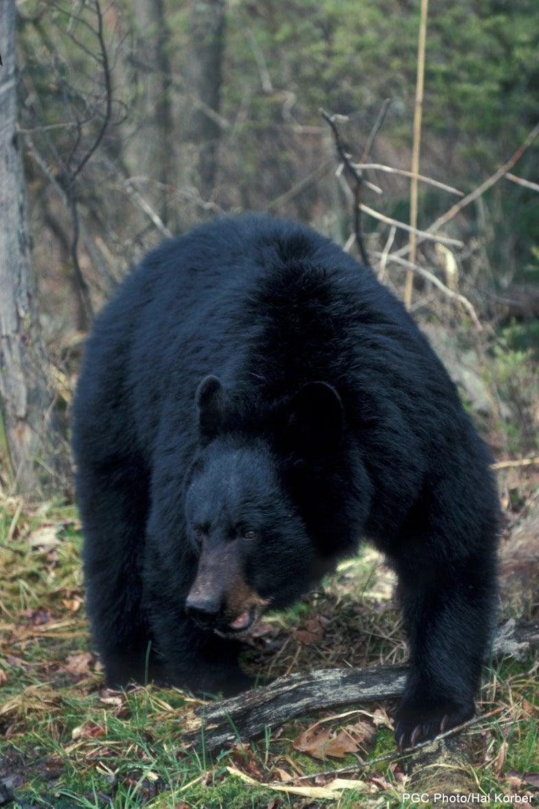 Stalking Big Black Bears