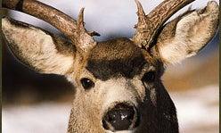 What Has Happened to the Mule Deer?