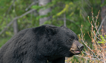 Bear O'Clock: How to Hunt Spring Black Bears Based on Their Feeding and Breeding Schedules