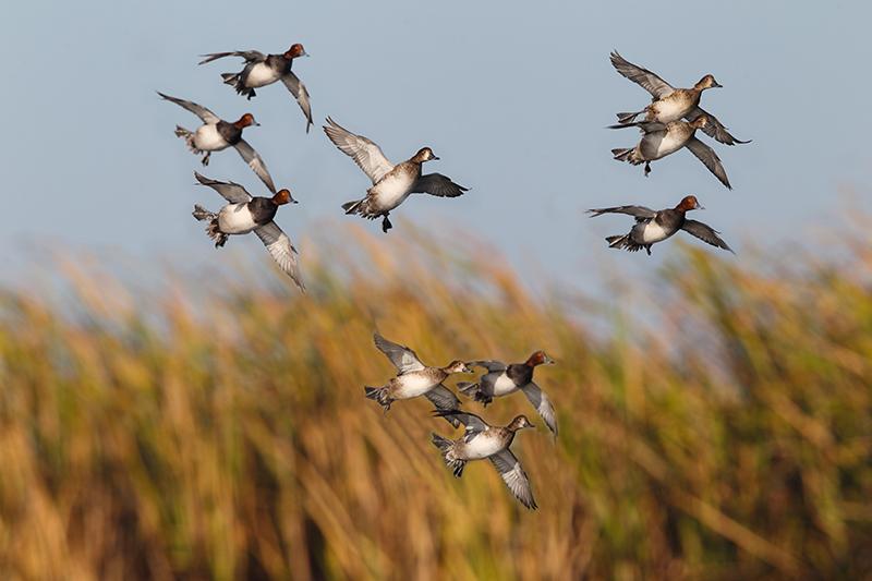 httpswww.outdoorlife.comsitesoutdoorlife.comfilesimport2015CB-FlyingDucks.png