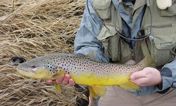 Deep -Timber Trout