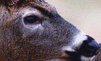 Regional Deer Forecast 2004