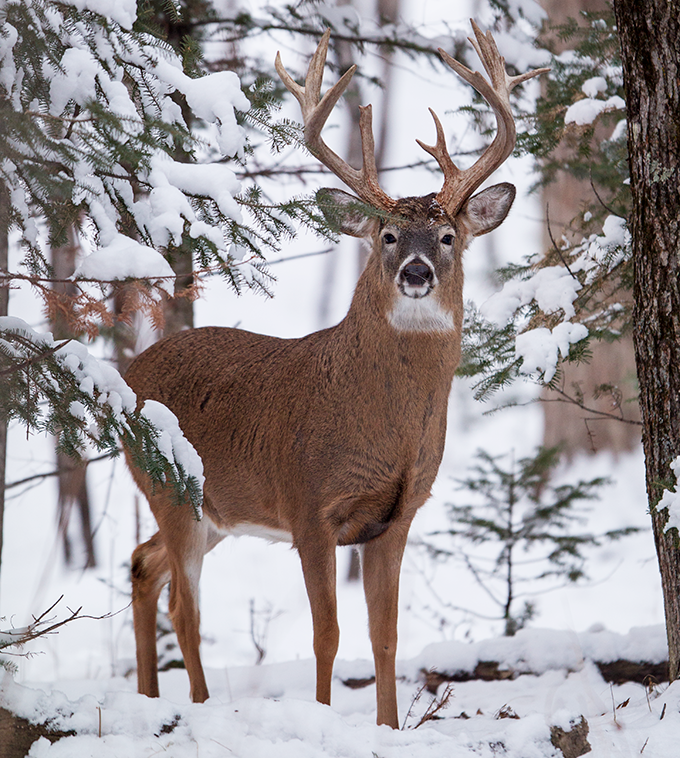 The Hunger Game: Hunting Late-Season Whitetails in the Midwest