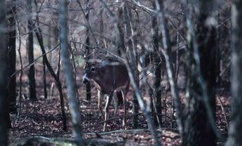 Eastern Deer Tactics