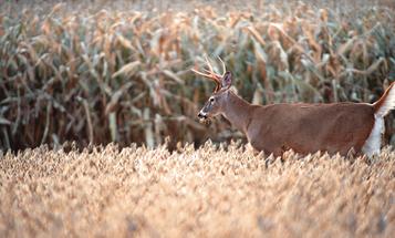 How to Hunt Deer in Standing Corn