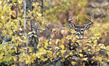 How to Hunt a Mature Buck Near His Bedding Area