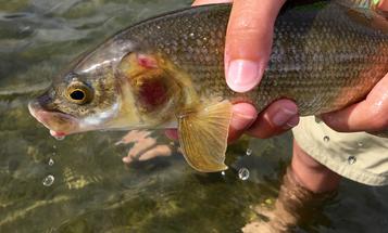 Massive Yellowstone Fish Kill Leads to Unprecedented River Closure
