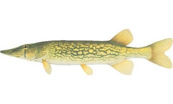 Fish ID:  Chain Pickerel