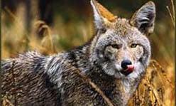 Coyote Birth Control