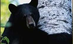 Black Bear Addiction