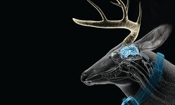 Whitetail Deer: Into the Mind of a Rutting Buck