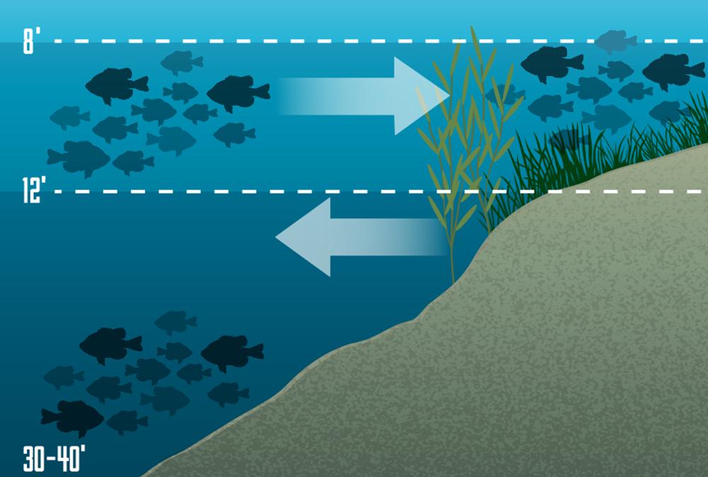 bluegill, summer bluegill, summer deep water bluegill, summer panfish, postspawn bluegill