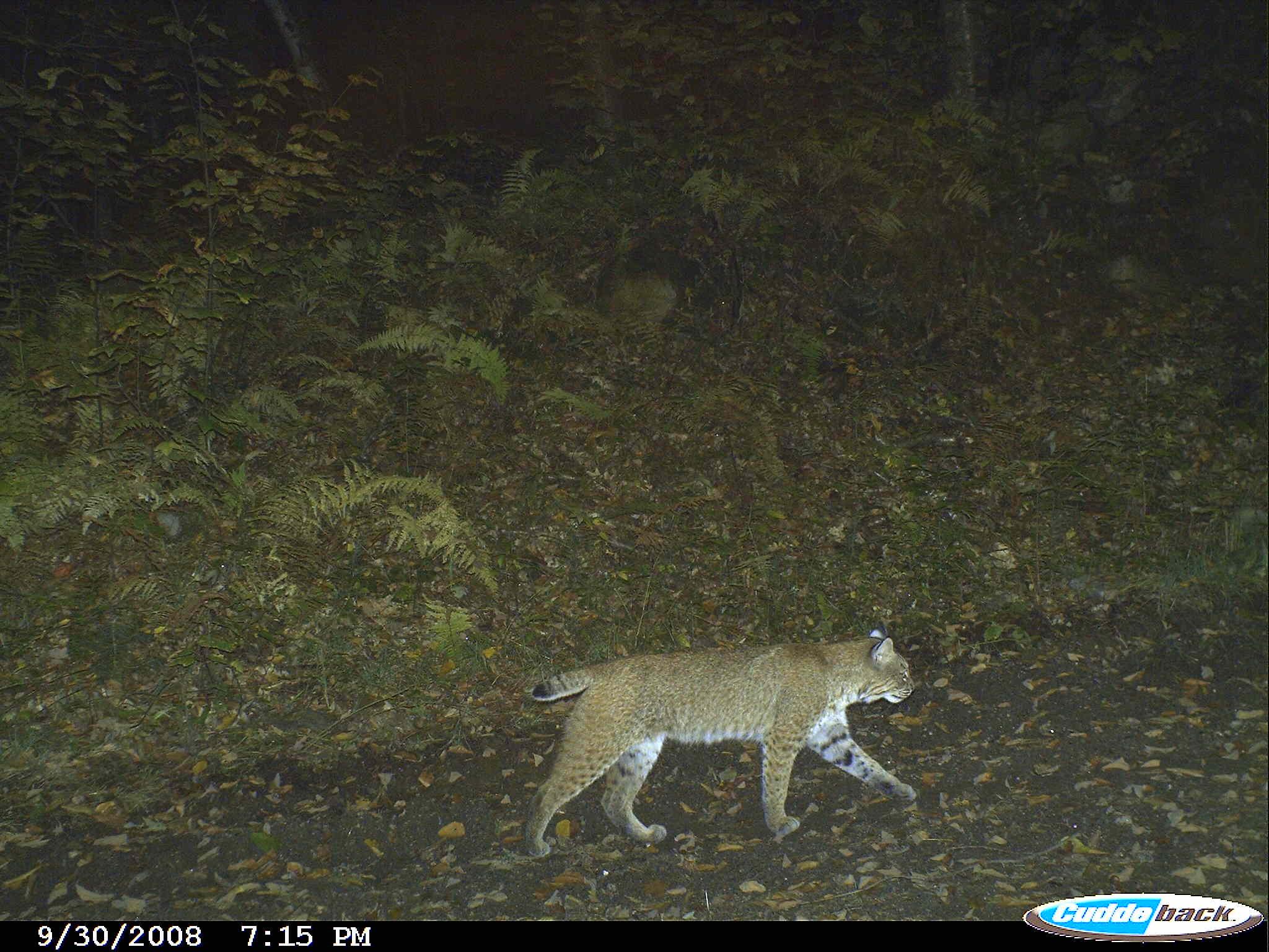 Crazed Bobcat Mauls Hunters