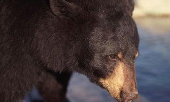 Pennsylvania Bear Hunters Set Record