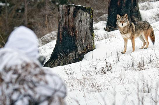 coyote looking at hunter