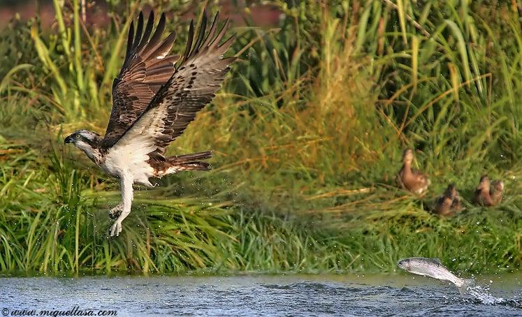 httpswww.outdoorlife.comsitesoutdoorlife.comfilesimport2014importImage2009photo7osprey_19.jpg