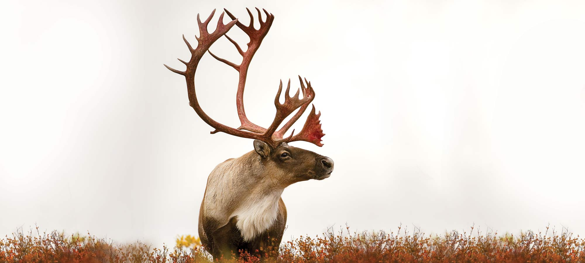one caribou standing alone in a field