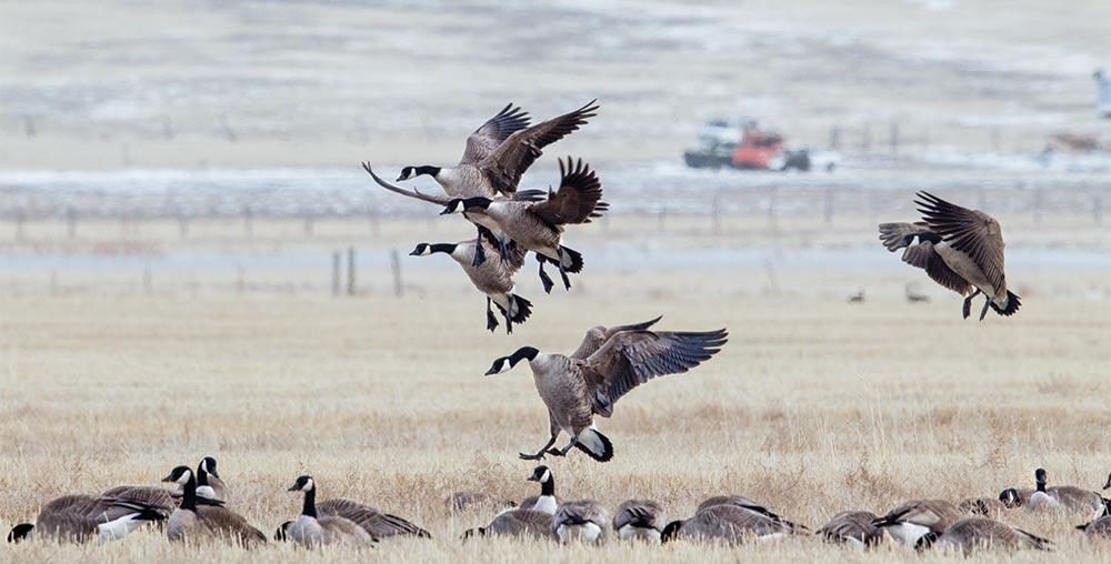 canada geese landing in a field