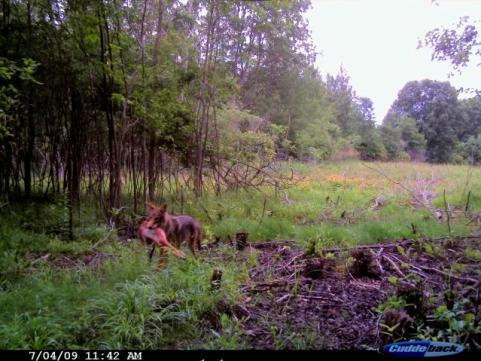 httpswww.outdoorlife.comsitesoutdoorlife.comfilesimport2014importImage2009photo640._Killer_Coyote.jpg