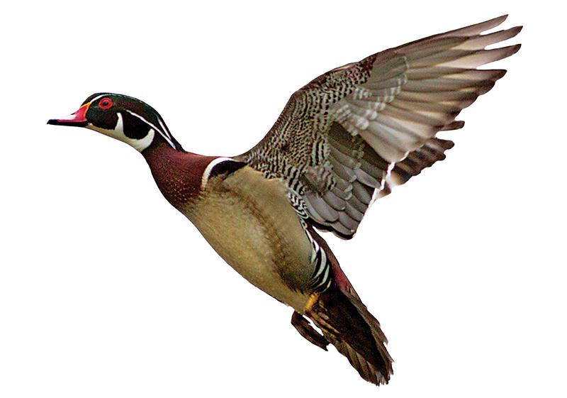 medium sized duck shot