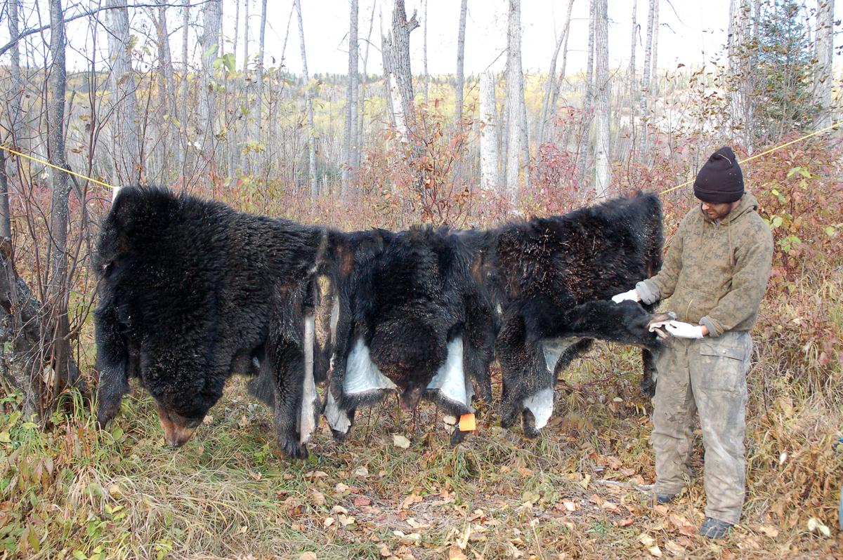 Destination Adventure: Bowhunting Alberta Spring Black Bears