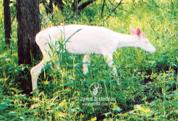 True albino deer lack skin and hair pigments and are completely white.
