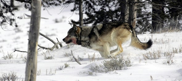 The Downside of the Wolf Delisting