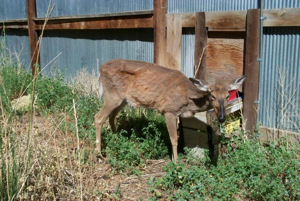 chronic wasting disease deer