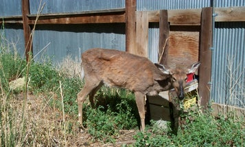 The Worst Week Ever for Montana Deer Hunters: CWD Arrives in the State