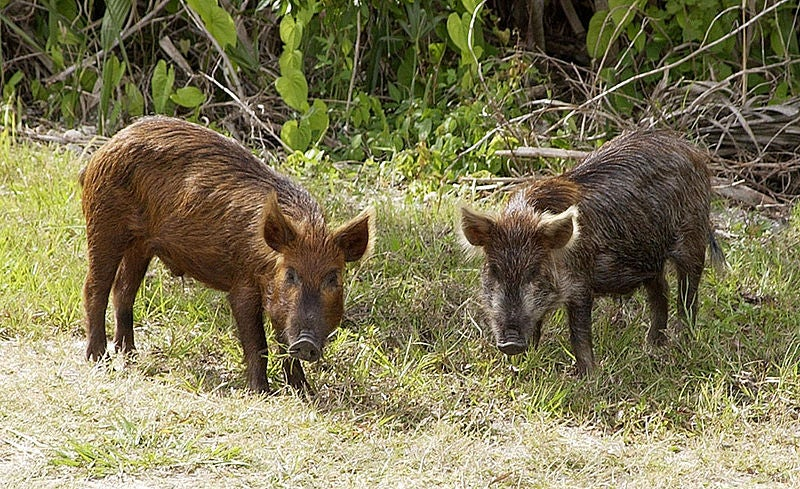 Feral Hogs Ransack Fort Worth