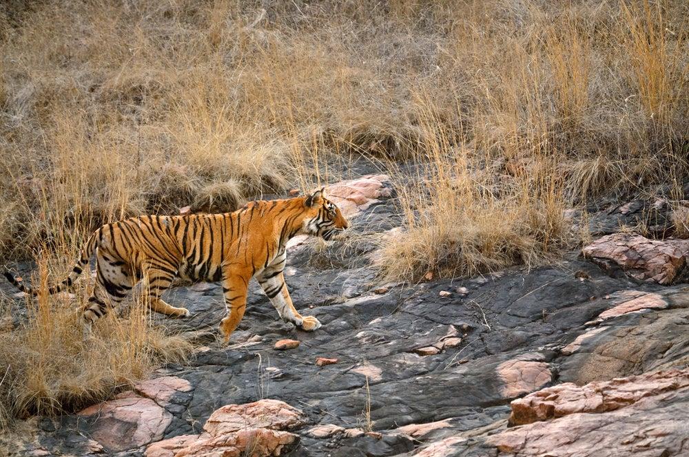 httpswww.outdoorlife.comsitesoutdoorlife.comfilesimport2014importImage2011photo10013215793_2_CATERS_Bear_tiger_03.jpg