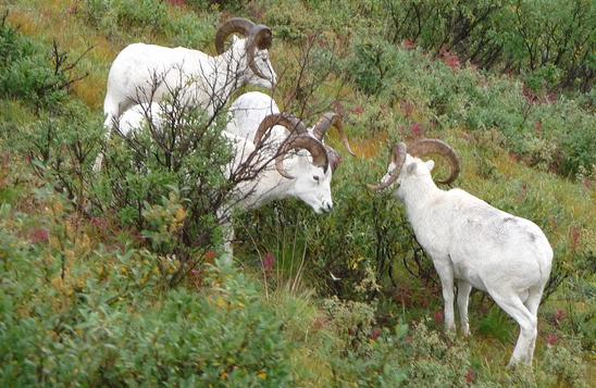 Sheep Wars Part 2