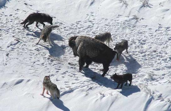 Report: As Yellowstone Wolf Population Declines, Predators Target Bison