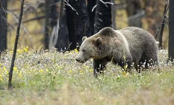 Why Bears Target Hunters