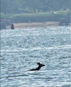 CT Deer Swims Over a Mile Across New Haven Harbor