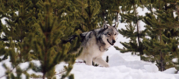 Are Wolves Big Game Animals or Varmints?