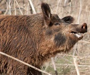 Pig Hunting Tips: How to Call in Wild Hogs