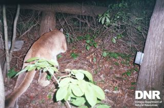 Hoosier Mountain Lion Sighting Confirmed