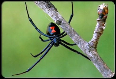 httpswww.outdoorlife.comsitesoutdoorlife.comfilesimport2014importImage2010photo3001022_Black_Widow_Spider.jpg