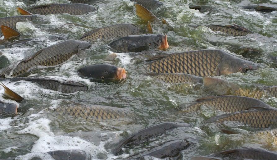 fishing regulations, fishing conservation, lionfish, white sturgeon, invasive carp, carp Australia, port state measures agreement