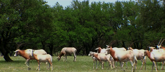 60 Minutes: How Hunting Saved the Scimitar Oryx and How Antis Could Make it Extinct