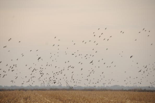 A flock of doves rises at sunset on opening day.