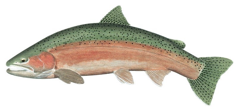 httpswww.outdoorlife.comsitesoutdoorlife.comfilesimport2014importImage2010photo3001017B_Male_Steelhead.jpg